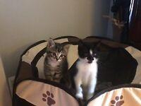 Cute and playful kittens - Ealing (Hanger Lane) W5