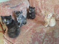 Kittens for sale (Chertsey)