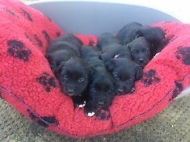 Healthy Borador Puppies for Sale