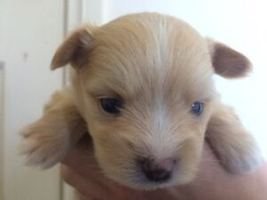 1 Last Boy Pomeranian x Maltese Puppies for SALE LOOK!!! Adelaide CBD Adelaide City Preview