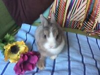 Netherland dawrf babt rabbits