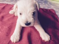 Schnauzer chienot male medium Miniature White 440$
