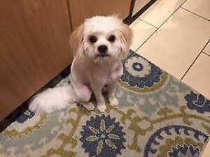 """Baby Male Dog - Poodle-Shih Tzu: """"Juniper"""""""