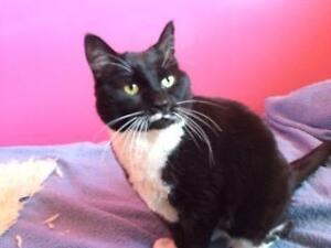 Adult Female  - Domestic Short Hair-black and white