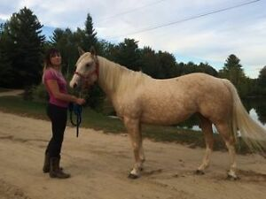 5 year old Palomino QH mare