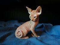 chat sphynx nue red tabby avec droit reproduction