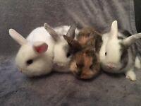 4 Beautiful mini lop/netherland dwarf baby rabbits