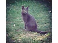 Lost Cat/Russian Blue/Waddon/Croydon/Surrey