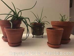 3 Aloe Vera plants