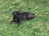 French Bulldog Puppies - CALL OR TEXT ONLY!! 1 MALE LEFT!!