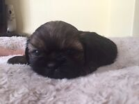 1 male kc reg shih tzu pup
