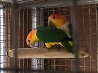 Proven pair of Yellow/Green thighed Caique Parrot Pairs