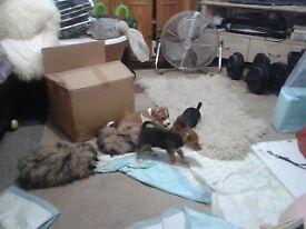 10 week old jack russle with abit of pom 3 left 2 girls 1 boy