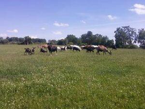 Dairy Buck London Ontario image 2