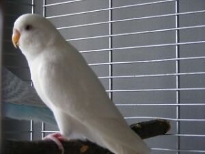 2 Perruches Albino et Ailes Grise 11 mois + cage equipee + nid
