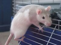 loads young rats, mainly males. white / black or white / pale grey. fairly tame. £5 each