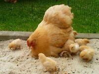 Chickens - Pekin Bantam