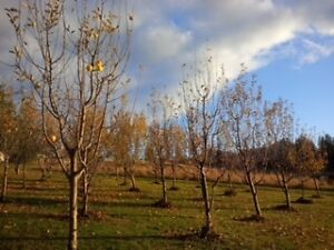 Apple - ambrosia and Pear fruit trees
