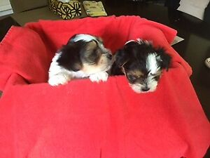 Adopt Dogs & Puppies Locally in Victoria | Pets | Kijiji