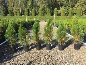 Emerald cedars, one gallon