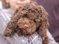 6 chiots cockapoo brun chocolat a reserver,reste 3 seulement