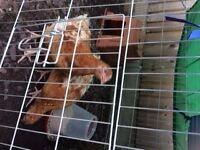 Warren Chickens for sale (hens)