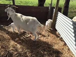 saanen goats for sale   Livestock   Gumtree Australia Free