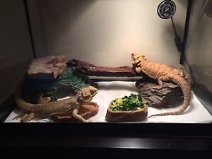 BEARDED DRAGONS FOR SALE!