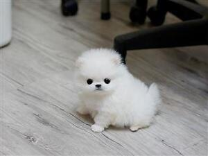 Looking for New Pom!