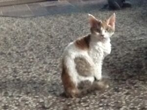 Devon Rex --Kittens PLUS 2 young adults females Available