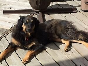 "Adult Female Dog - German Shepherd Dog-Collie: ""Rory"""
