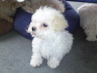 Maltese Female Puppie Perth 7300 Northern Midlands Preview