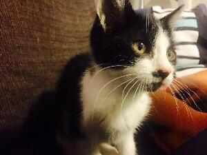 """Baby Female Cat - Domestic Short Hair: """"Snickers"""""""