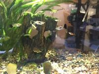 NOW just ��1 for healthy happy guppies for sale