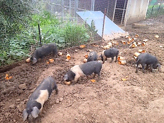 Pure bred Wessex Saddle Back pigs for sale