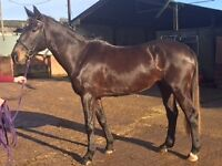 Irish bred, Showjumping/ Eventing prospect by Garrison Royale (ISH)