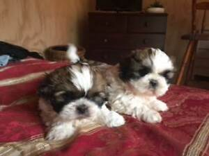 Gorgeous Purebred Shihtzu Puppies Leslie Vale Kingborough Area Preview