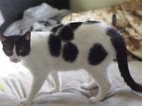"""Young Male Cat - Domestic Short Hair: """"Marbles"""""""