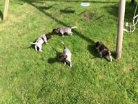 German Shorthaired Pointer Pups for Sale, KC Reg, Ayrshire, Scotland - Available 16th September '16