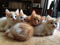 X Mainecoon Kittens Ginger and white READY NOW