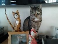 ***missing from dussindale ** tabby cat,