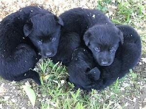 We have gorgeous LABRADOR Puppies looking for their families.