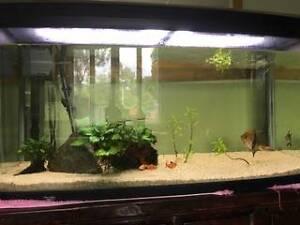 Aquastyle 980 curved glass aquarium fish tank Holland Park Brisbane South West Preview