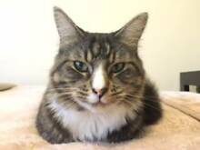 A beautiful cat selling for free as owner moving overseas.... Liverpool Liverpool Area Preview