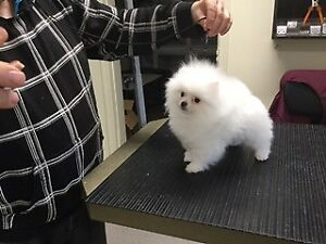 2 CKC Registered White Male Pomeranian Puppies For Sale