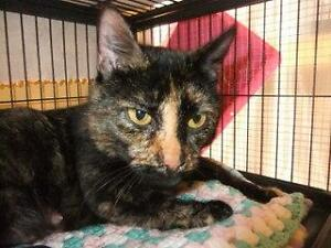 "Adult Female Cat - Domestic Short Hair: ""Jewel"""