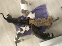 Pure Breed American XL Bully puppies