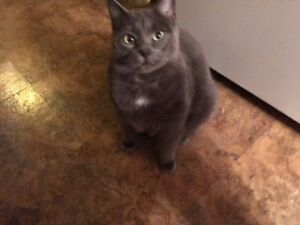 Home needed for Russian Blue Cat