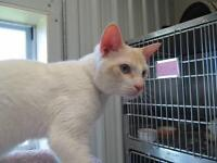 "Adult Male Cat - Siamese-Domestic Short Hair: ""Cameron"""