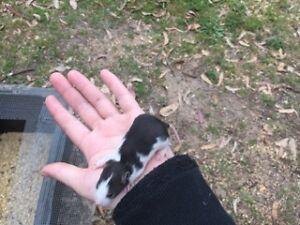 dalmation rats, blw, blazed rats for sale Ellalong Cessnock Area Preview